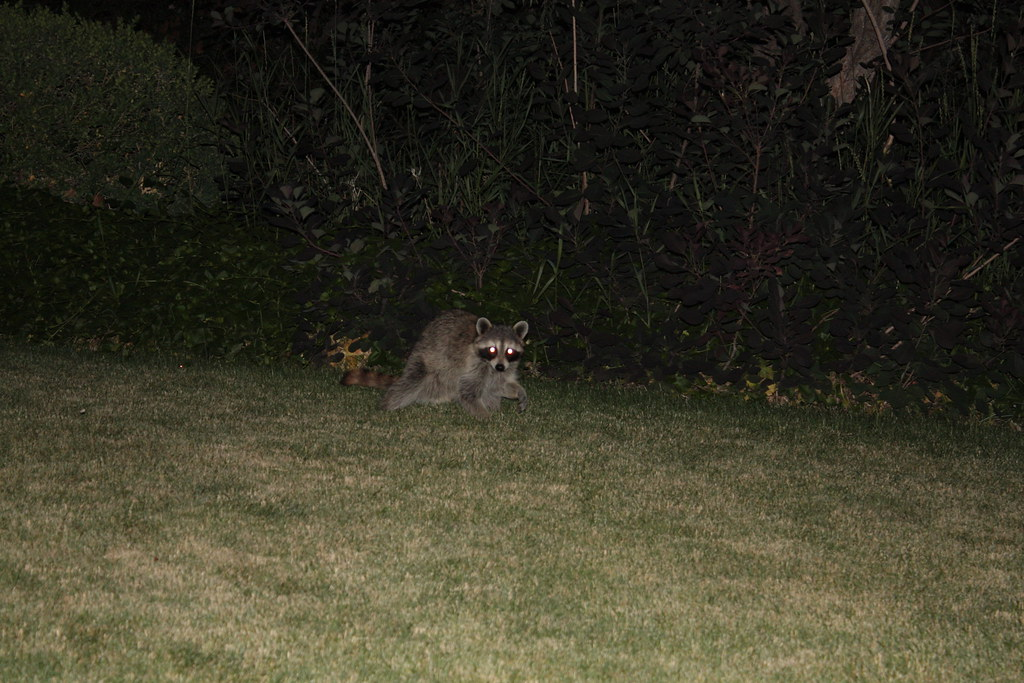 Nice ... Backyard Raccoon At Night | By Lee Ann L.