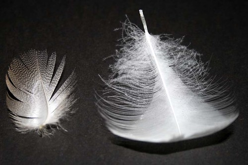 feathers | by JDPhotography -