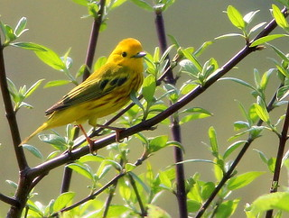 Yellow Warbler male 20110511 | by Kenneth Cole Schneider