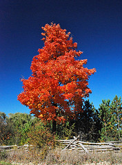 Flaming_Tree_1428 | by photomagex
