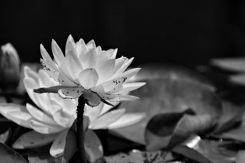 Pond Life In Black and White - Part 2 | by btn1131 theromanroad.org