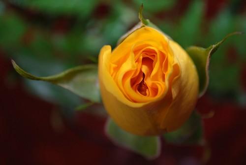 yellow rose day 1 slgckgc flickr. Black Bedroom Furniture Sets. Home Design Ideas