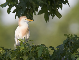 cattle egret - bubulcus ibis | by amaw