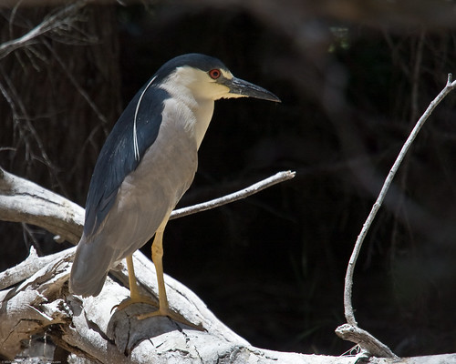 Black-crowned Night Heron (Nycticorax nycticorax) | by mikebaird