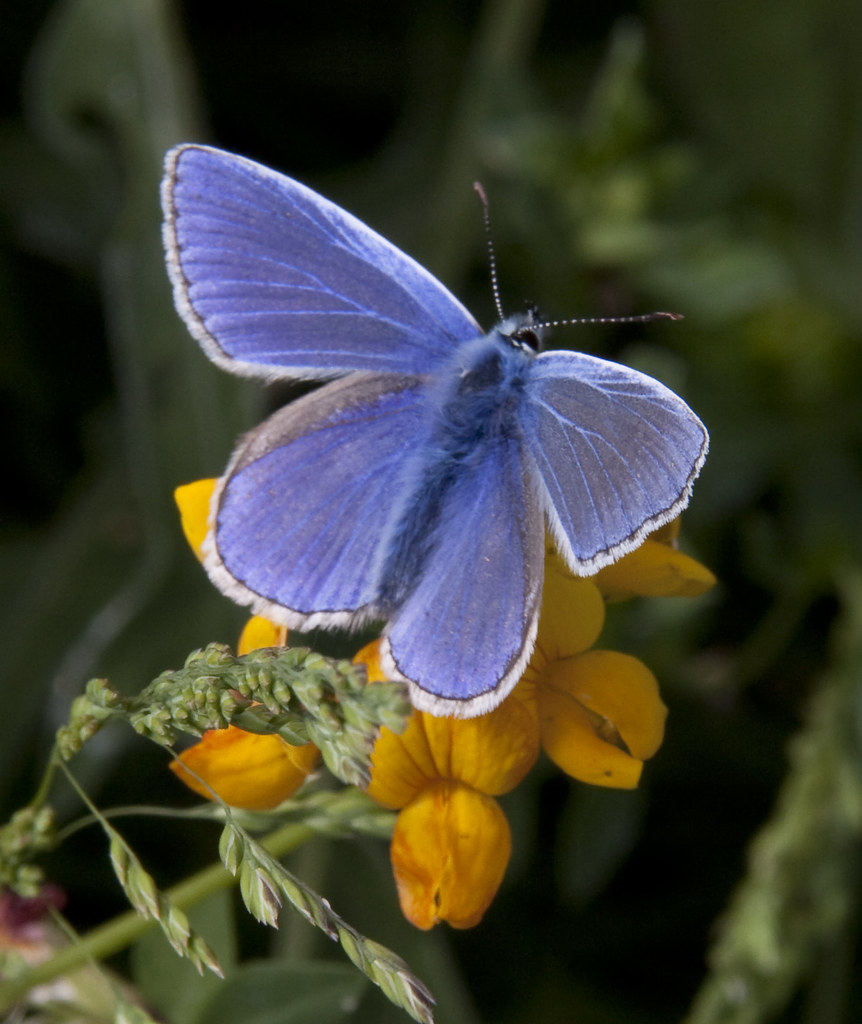 Common blue butterfly although the weather has been good flickr common blue butterfly by ahisgett common blue butterfly by ahisgett buycottarizona
