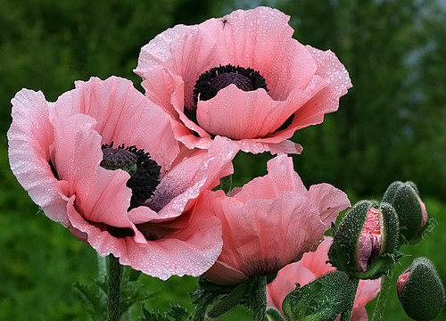 Pink Oriental Poppies | by janruss