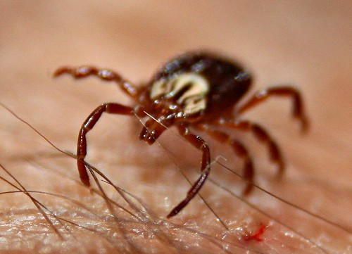 Http Www Tickbites Net Signs And Symptoms Of Tick Bite Fever In Dogs