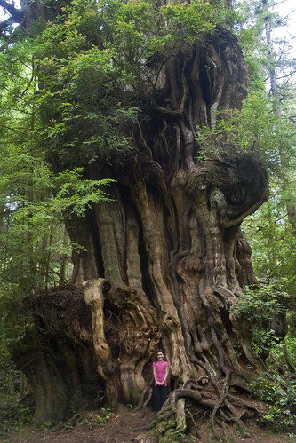 Big Cedar Tree Tiny Girl Olympic National Park This
