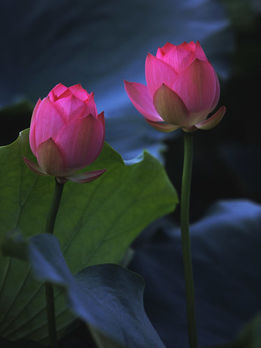 Rosy Lotus | by andyyleung