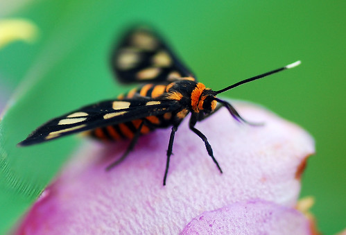 Another wasp moth | by andrew webber2008