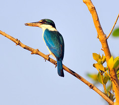 Collared Kingfisher | by Dr. Tarak N Khan