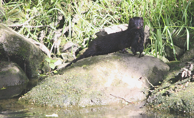 Mink and Moorhen chick