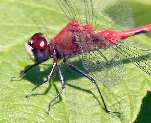 White Faced Meadowhawk