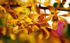 Golden Orchid | by jendayee