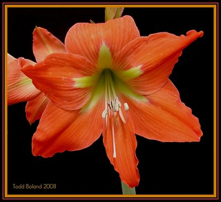 Hippeastrum species | by Todd Boland