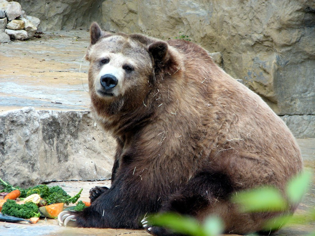 Flo enjoys her breakfast   Senior grizzly bear at the San An…   Flickr