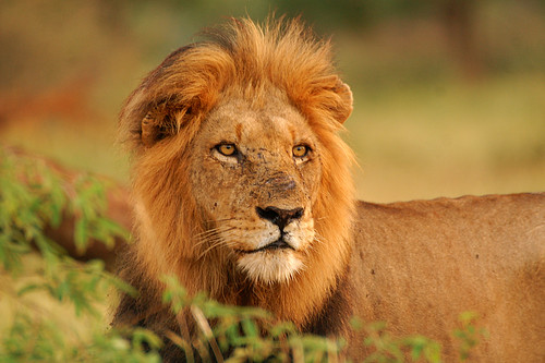 Lion | by Arno Meintjes Wildlife