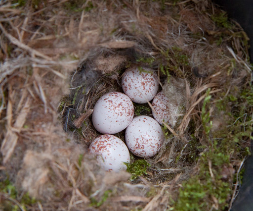 Black-capped Chickadee nest with 5 eggs