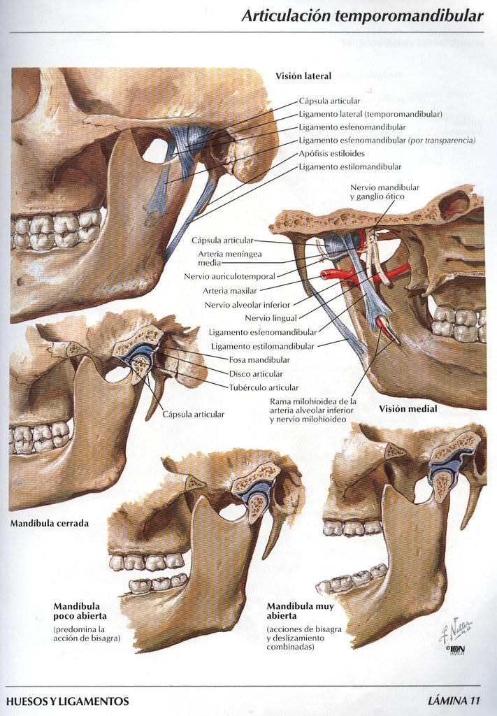 Articulacion temporo mandibular | juanbatista1863 | Flickr