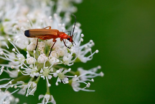 Soldier Beetle | by ~*Hannah*~