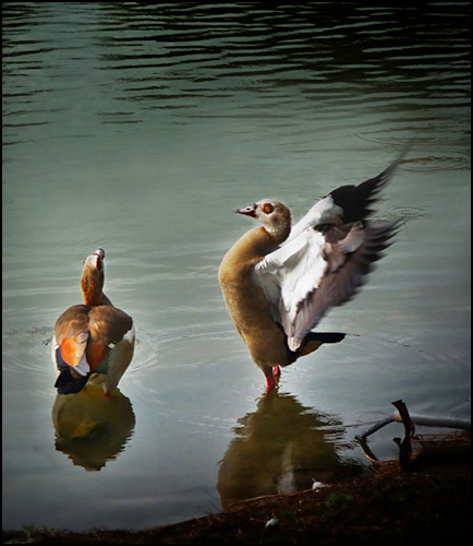 dance is it a mating ritual Magazine basic instincts when america's national bird takes a mate, the two really do fall for each other—in a spectacular, plummeting courtship ritual by patricia edmonds.