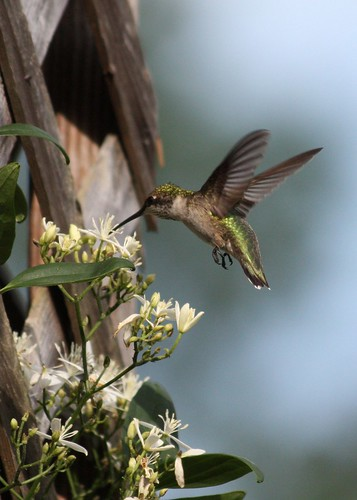 Summerville Hummingbird | by soccersc(Jim Allen)