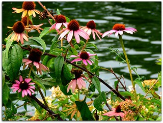 The Beautiful Coneflowers Of August! | by swt snookie