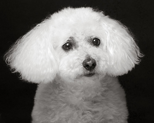 Monsieur Bichon | by Piotr Organa