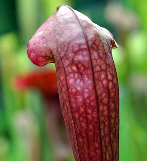 Sarracenia 'Boob Tube' x open-pollinated | by aarongunnar