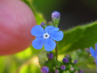 Tiny Blue Forget-Me-Not | by audreyjm529