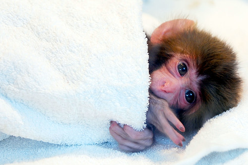 Japanese monkey | by floridapfe