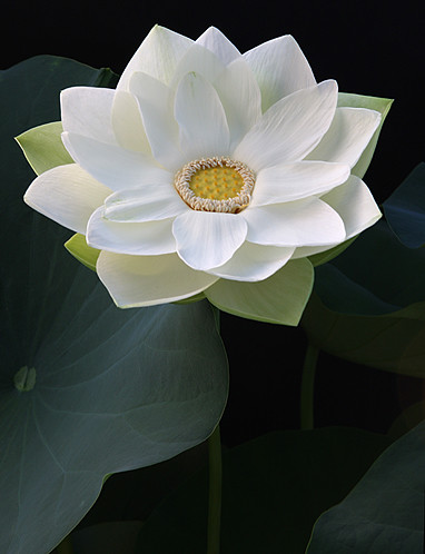 white lotus flower  img  white lotus flower  bahman, Beautiful flower