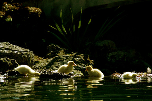 Four ducklings enjoying the Florida sunshine | by Michelle Lyles