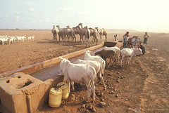 Cattle drinking water | by World Bank Photo Collection