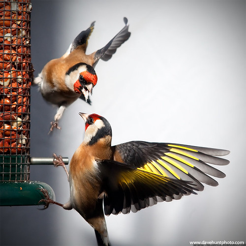 Fighting Goldfinches | by climberhunt (Dave Hunt)