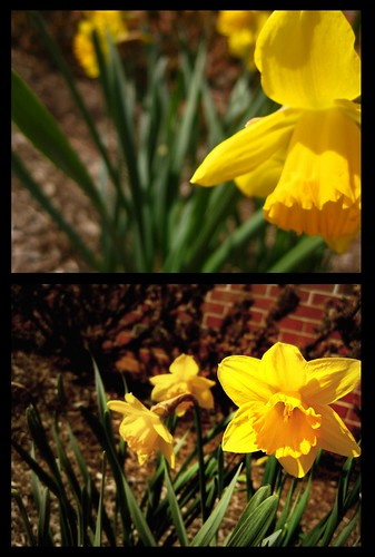 The First Daffodils (84/365) | by spinning clocks