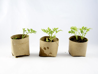 Group of three seedlings in repurposed toilet paper rolls | by girlingearstudio