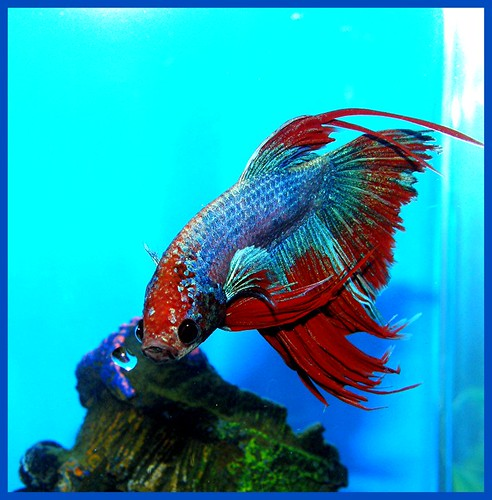 BlueRedBetta1 | by sponytales2000