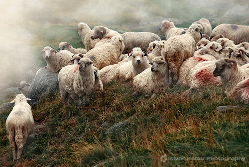 Sheep in Transylvania | by fesign