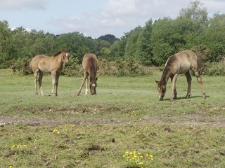 wild horses - Brockenhurst: New Forest: Hampshire: UK | by mermaid99