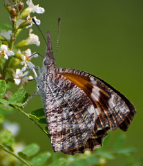 American snout butterfly | by jim_mcculloch