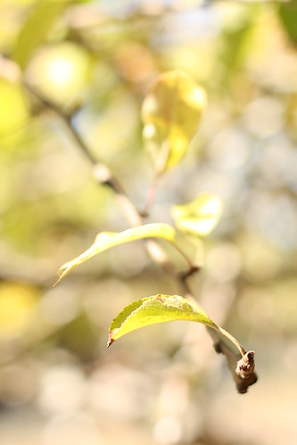 apple Tree bokeh | by Hodge Hill Photography