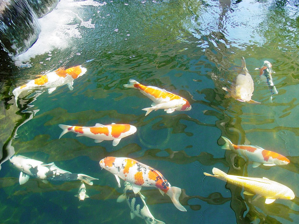 ... Koi In The Big Pond With Water Fall Mystic Koi And Water Gardens Upland  Califorina |