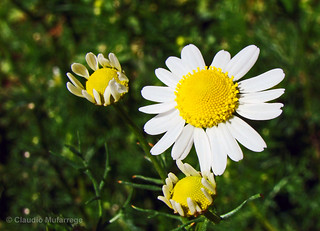 Margaritas/Daisies | by Claudio.Ar