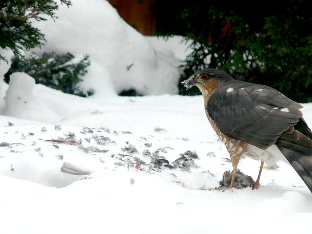 Sharp-shinned Hawk eating House Sparrow.