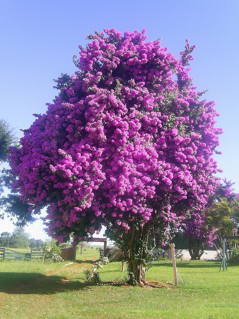 Bougainvillea tree | Old Bougainvillea glabra in full summer\u2026 | Flickr