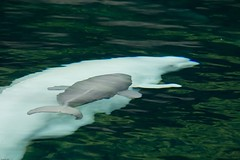 Baby beluga at the Vancouver aquarium | by Eyesplash - Summer was a blast, for 6 million view