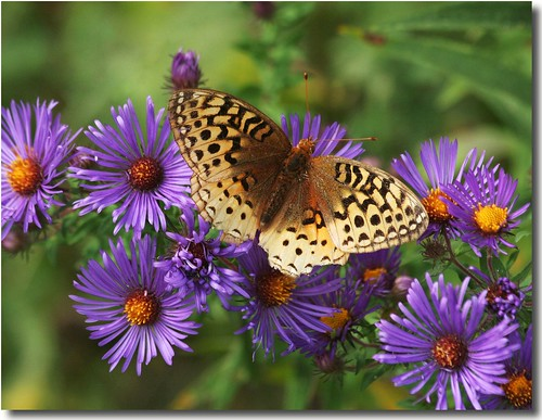 Fritt. on Asters | by nature55