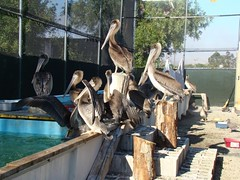 pelican2 | by Contra Costa Times