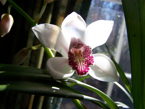"HNY Orchid | by ~Chuckles~! "" Intermittently Flickrin """